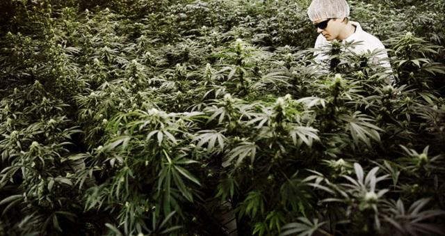 Власти РФ приняли закон о выращивании медицинской марихуаны и опийного мака