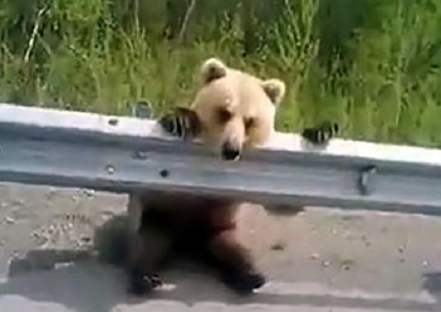 Едешь себе по трассе, а тут медведь-автостопщик сидит