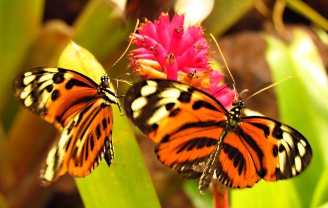 Золотые куколки южноамериканской бабочки (6 фото)