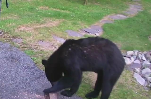 """""""Хороший мальчик"""" против медведя"""