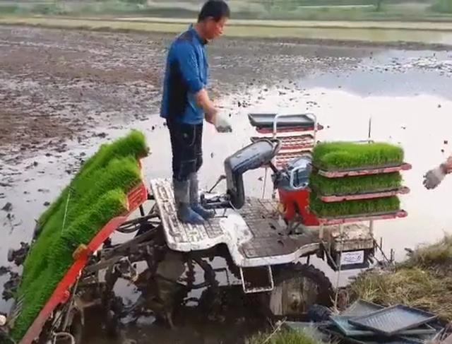Как сажают рис