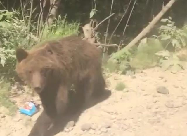 """""""Прикормленный"""" медведь"""