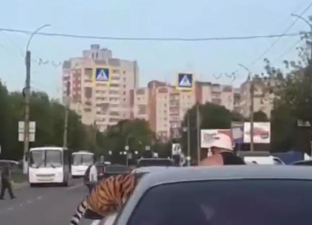 В Иванове тигр вырвался на свободу