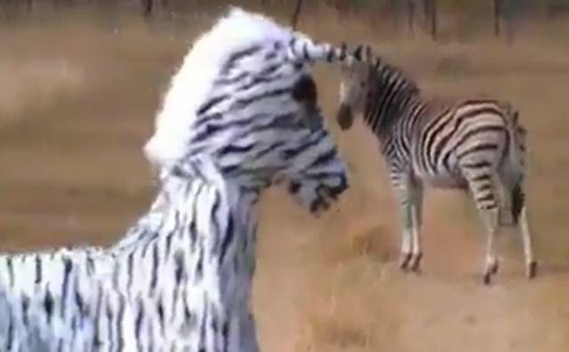 """Какая-то """"неправильная"""" зебра"""