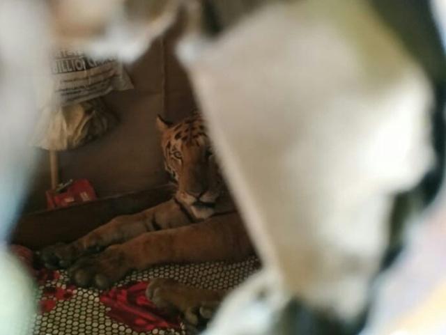 Тигрица в Индии пробралась в дом и расположилась на кровати (2 фото)