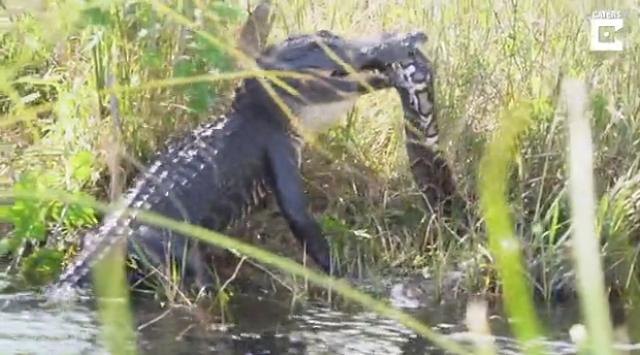 Смертельная схватка питона и аллигатора