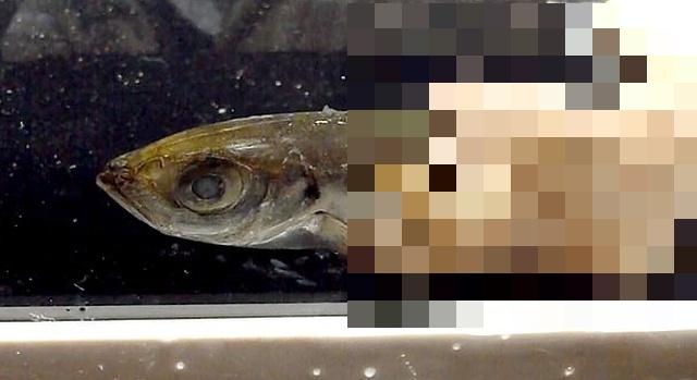 В Японии живут 70-сантиметровые черви (5 фото + видео)