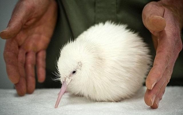 Hófehér szépség: számos csodálatos állat, albínó (16 kép)