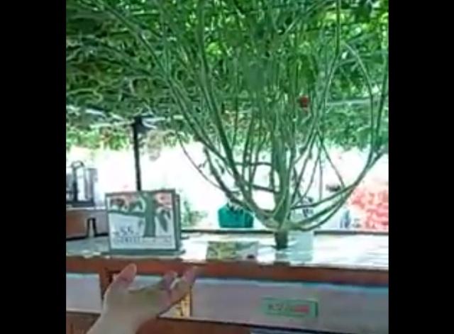 Такого вы еще не видели: помидорное дерево