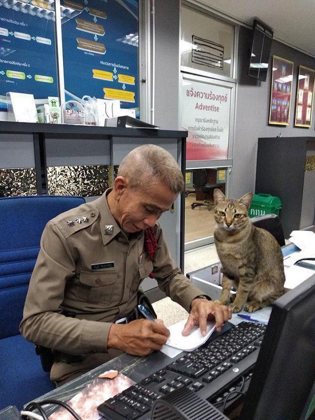 Кот-полицейский на страже Таиланда (8 фото)