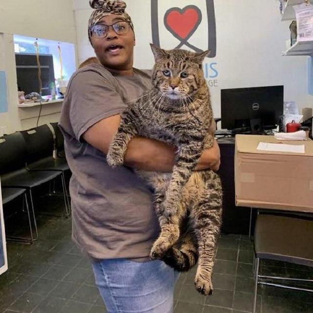 Мистер БиДжей - беспородный кот-великан из Филадельфии (4 фото + 4 скриншота)