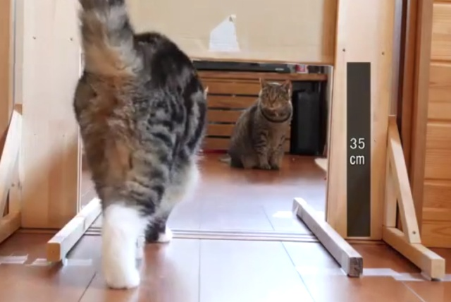 Японское исследование: насколько узкие щели могут преодолевать котики