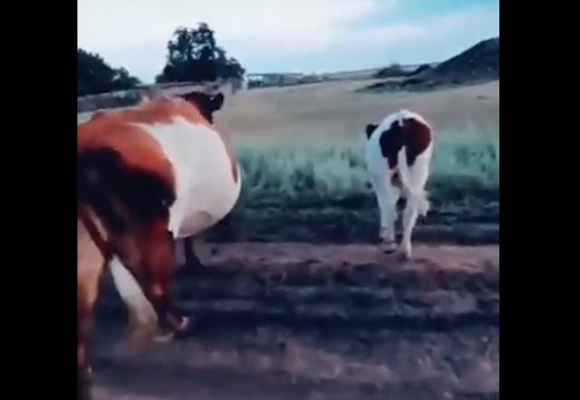 Самый простой способ остановить корову на ходу