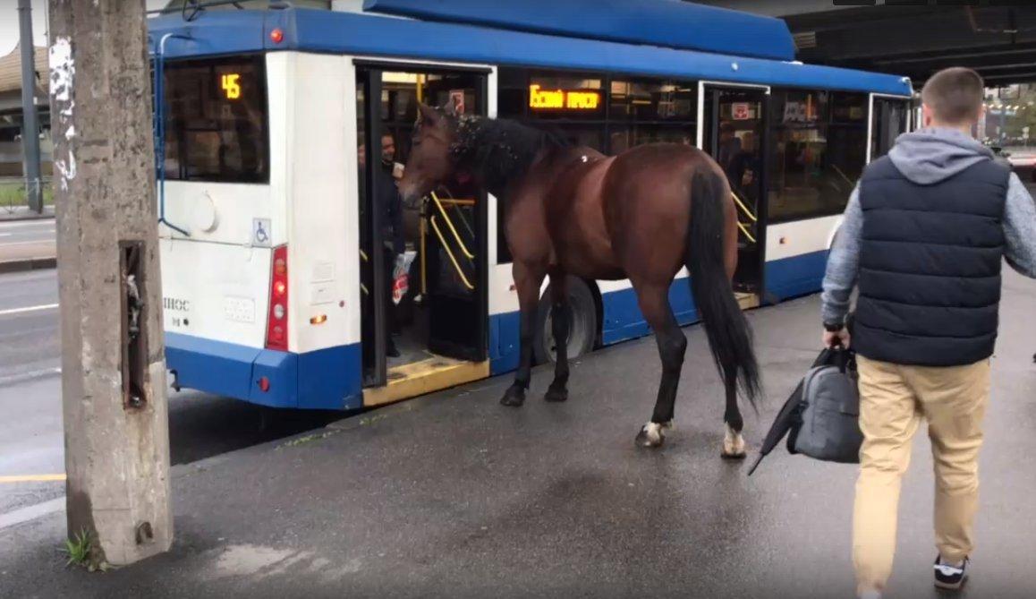 В Петербурге лошадь щипала траву возле остановки и чуть не села в троллейбус (2 видео + 2 фото)
