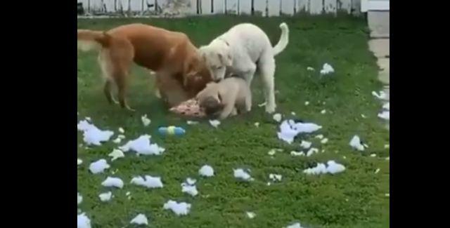 Собаки устроили погром и были шокированы возвращением хозяина