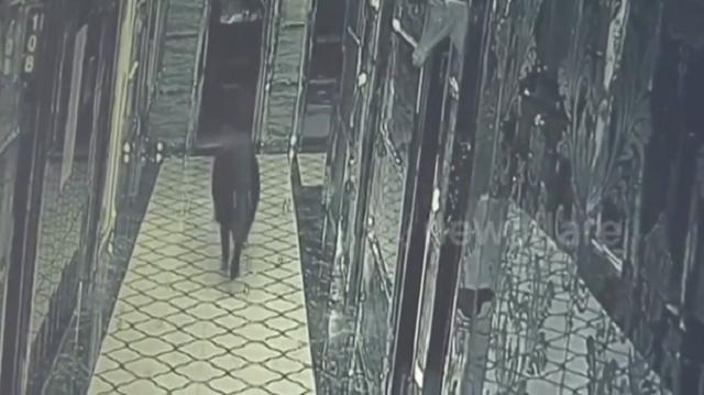 В Китае злой кабан ворвался в караоке-бар и устроил дебош