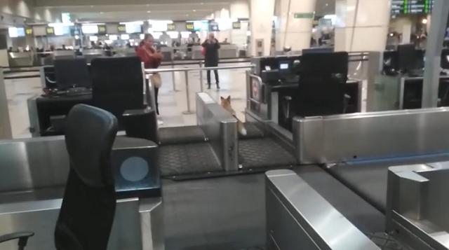 В аэропорту Домодедово потерялась лиса