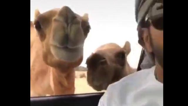 Верблюды почуяли вкусняшку и потеряли страх