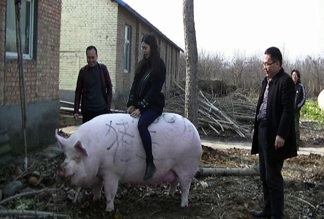 Китайский фермер вырастил свинью размером с медведя (3 фото)