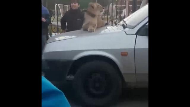 По улицам Сургута прогуливался Симба
