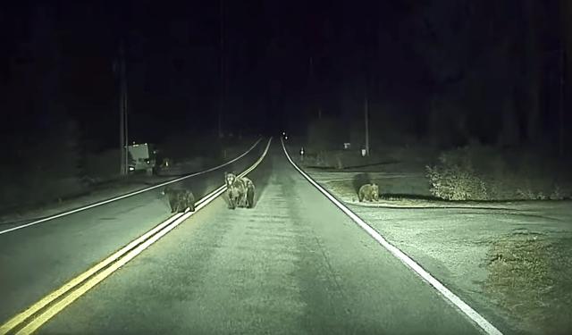 Автопилот Tesla спас водителя и семейство медведей от аварии