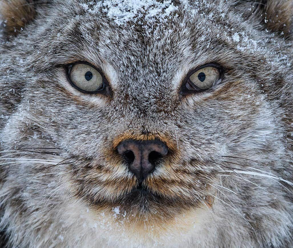 Kanada Vaşağı - Kanadalı Lynx