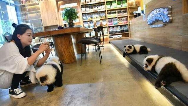 В Китае владелец кафе перекрасил щенков в панд, чтобы выделиться на фоне конкурентов (2 фото + видео)