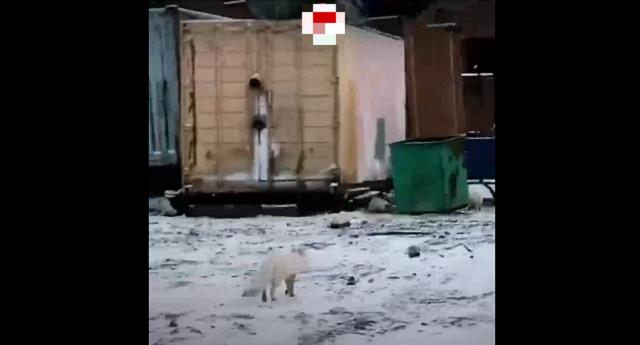 В Сибири засняли нашествие песцов