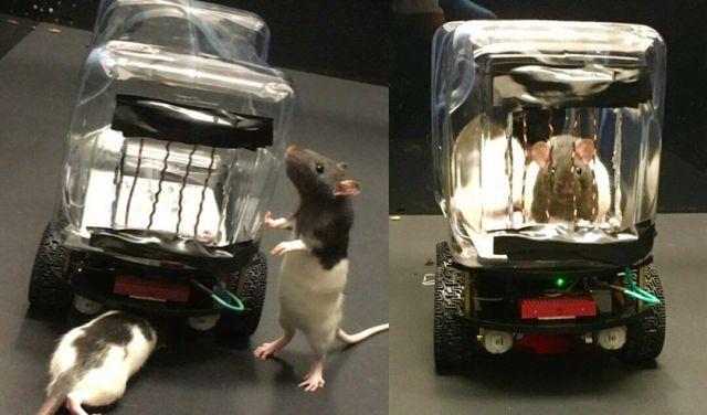 Оказалось, что крысы могут быть хорошими водителями (2 фото + 2 видео)