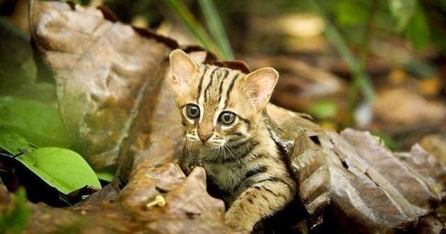 Ржавая кошка - маленький и очаровательный хищник из Индии