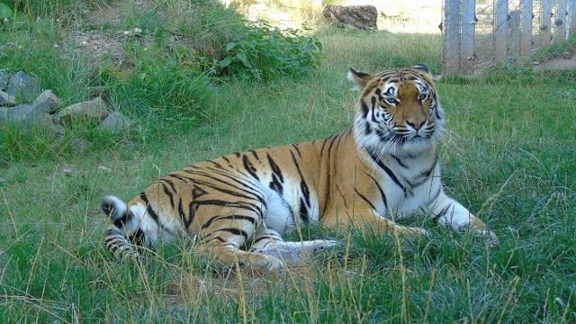 Тигрица из Германии с золотым оскалом (8 фото)