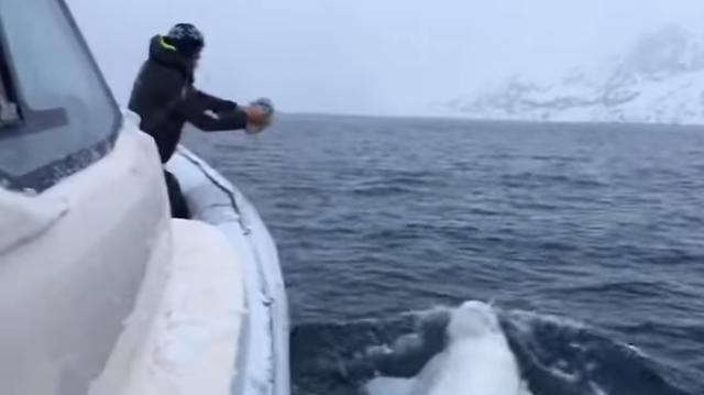 Зашкаливающая милота: моряки играют с белухой в регби