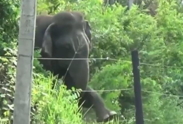 Слон против электрических ограждений