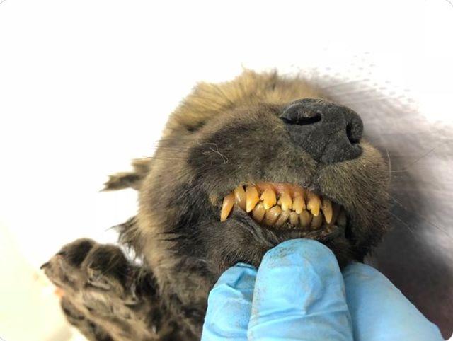 В Якутии нашли самого древнего щенка в мире (3 фото10
