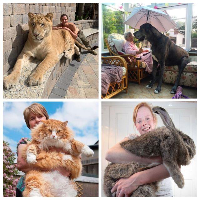 Подборка животных-гигантов из Книги рекордов Гиннесса (10 фото)