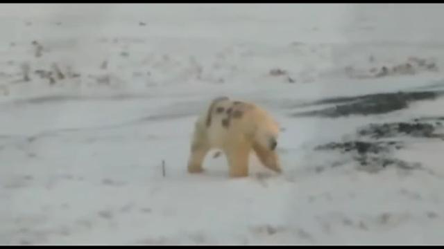 "В Мурманской области вандалы нарисовали граффити ""Т-34"" на белом медведе"
