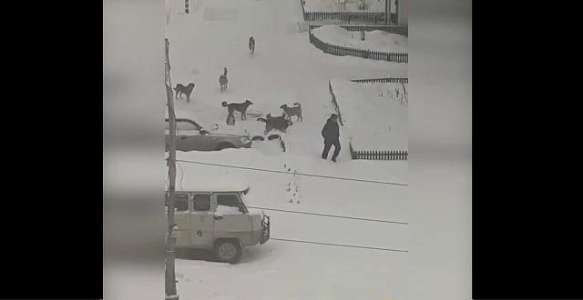 В Североуральске стаи бродячих собак терроризируют местное население