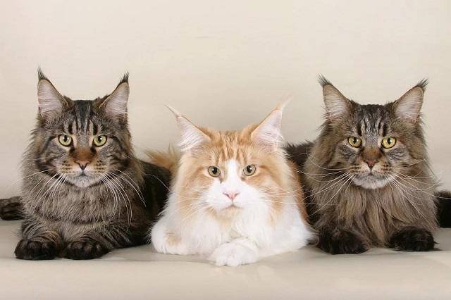 Исследование: самые любимые породы кошек россиян (3 фото)