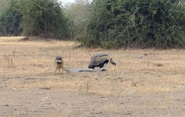 Африканский боевик: медоед вырвался из объятий питона и отомстил ему с помощью двух шакалов (10 фото + видео)