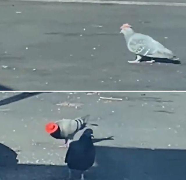 В Лас-Вегасе завелись голуби-ковбои (3 фото + видео)