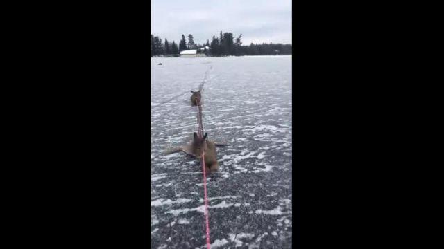 Конькобежец из Канады спас целое семейство оленей