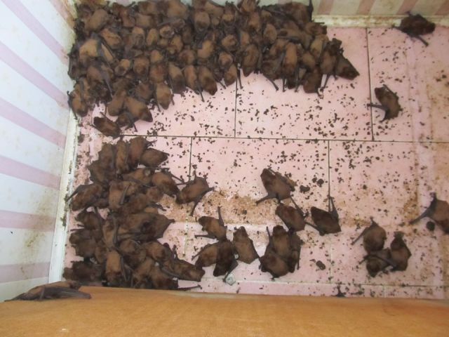 Во Львове на балконе многоэтажного дома поселилось рекордное количество летучих мышей  (6 фото)