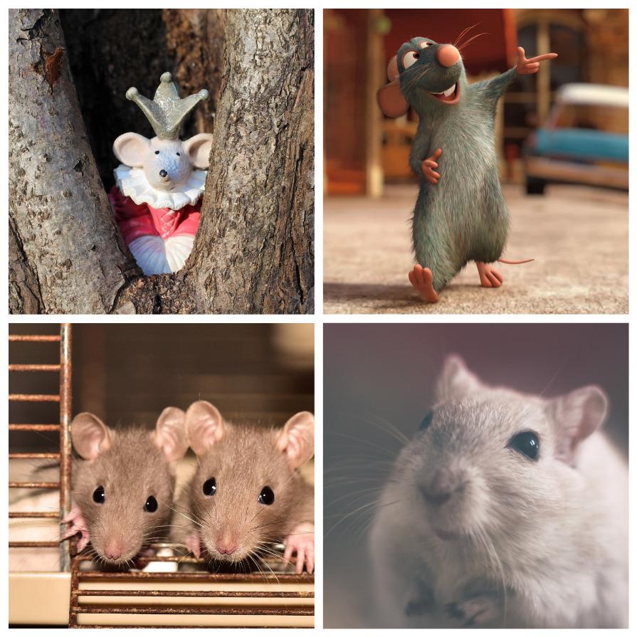 Крысы – одни из самых умных существ на Земле (10 фото)