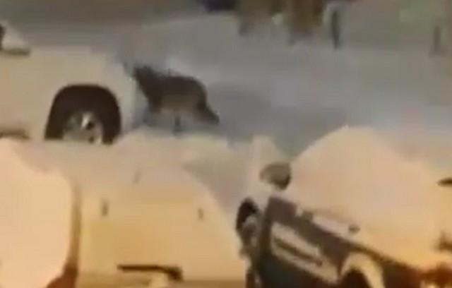 Этот зверь терроризирует город Сыктывкар уже несколько дней