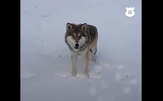 Волк - лучший друг человека