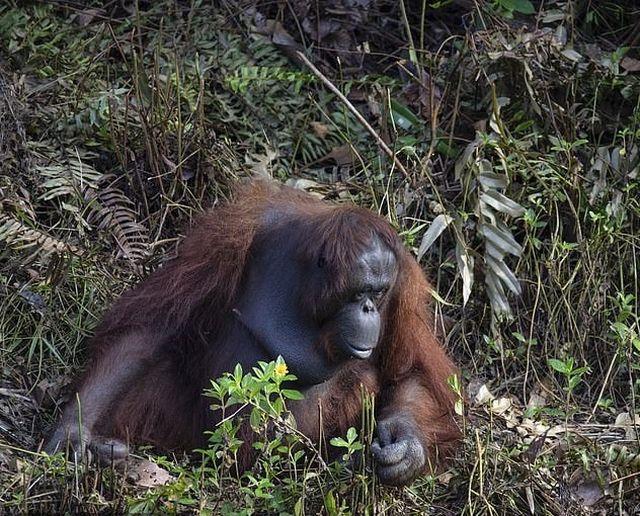 Рука помощи: орангутан попытался помочь стоявшему в воде мужчине (4 фото)