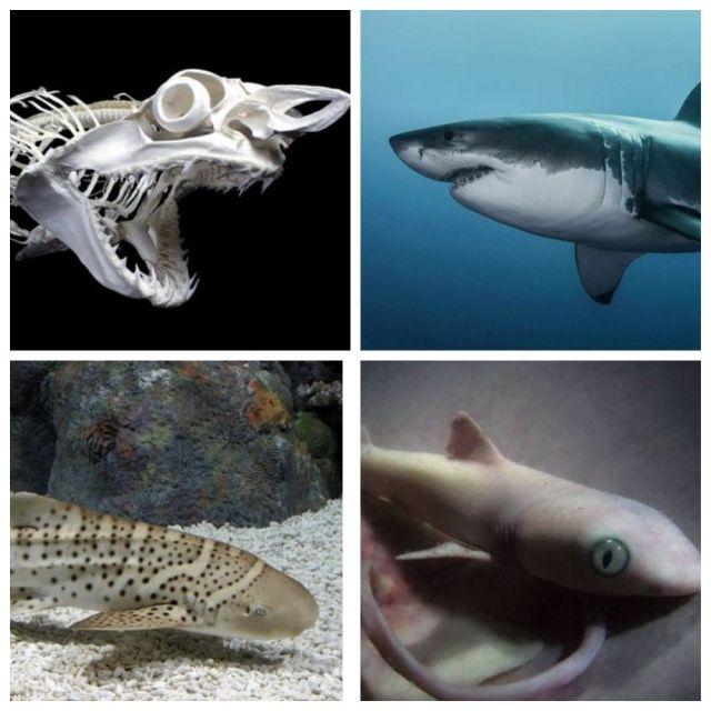 Подборка интересных фактов об акулах (10 фото)