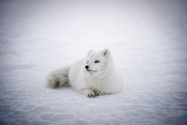 Белый песец лежит на белом снегу