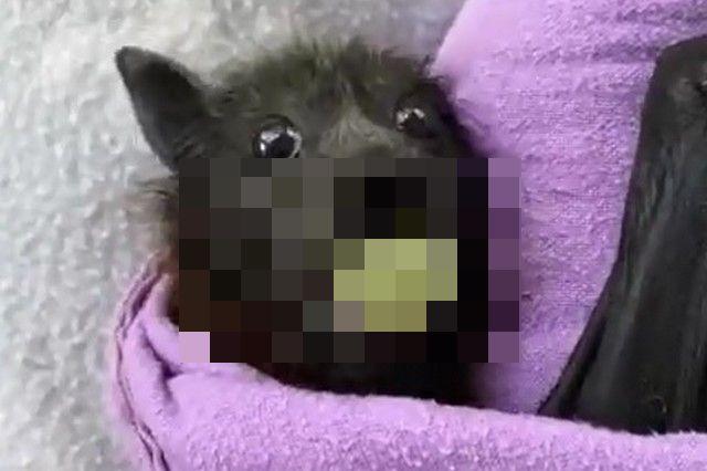 Летучая собака, завернутая в полотенце, ест виноград
