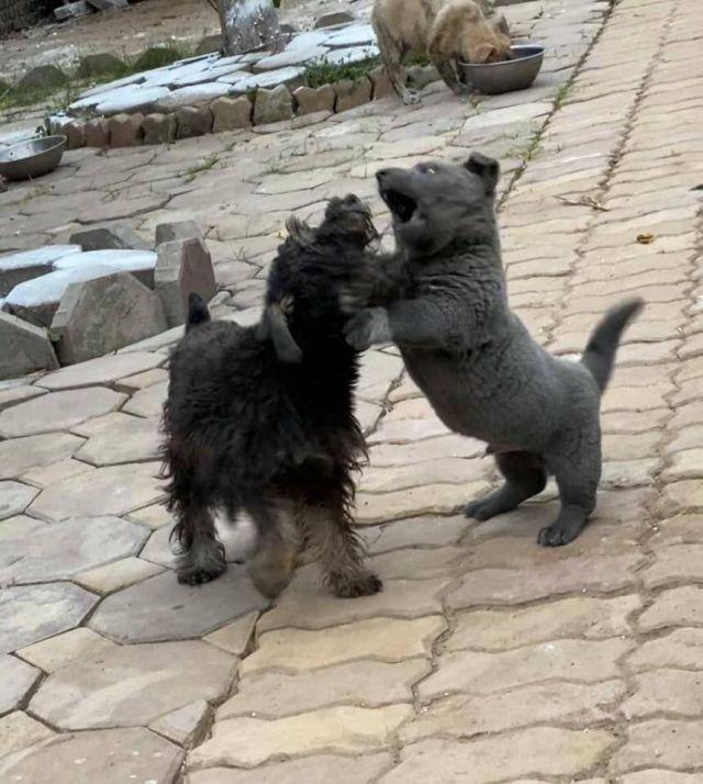 Серый щенок по кличке Дуй играет